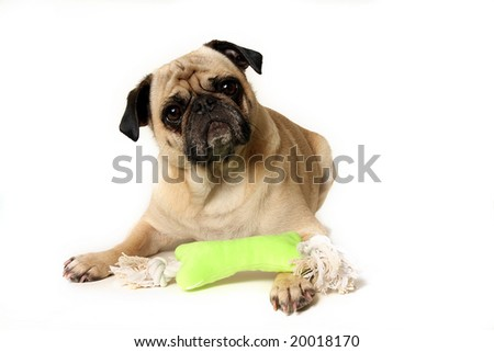 Male Pug with a toy.  Isolated on white background.