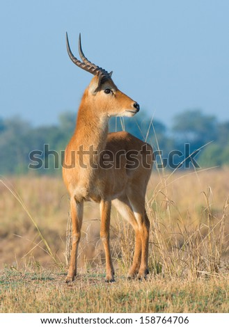 Male Puku - stock photo