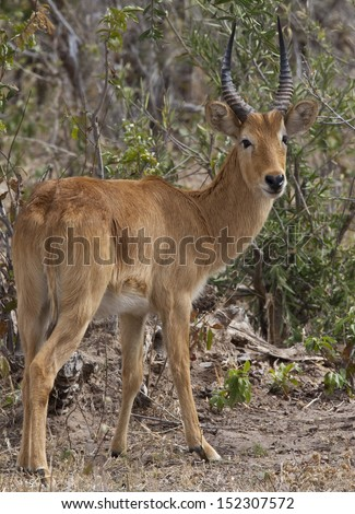 Male Puku Antelope (Kobus vardonii) the Chobe National Park region of northern Botswana - stock photo