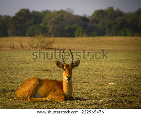 Male puku antelope sitting on grassy plain - stock photo