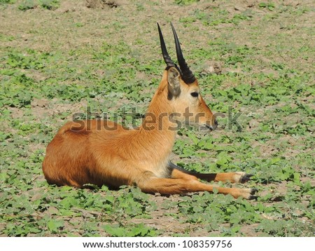 Male Puku lying on grass - stock photo