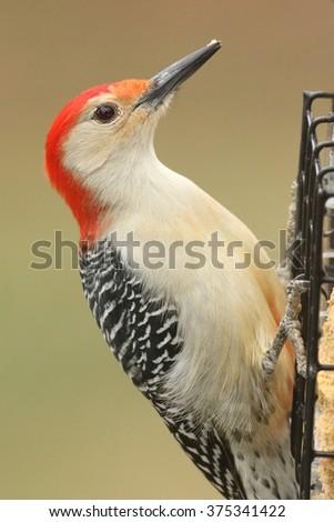 Male Red-bellied Woodpecker (Melanerpes carolinus) on a suet feeder - stock photo