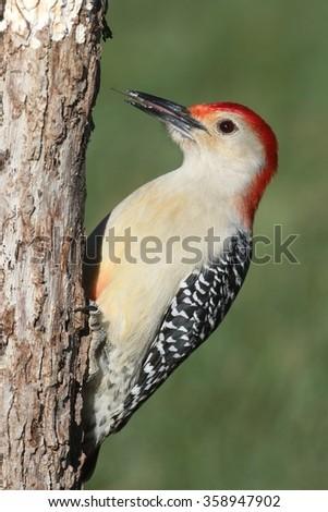 Male Red-bellied Woodpecker (Melanerpes carolinus) on a tree trunk - stock photo