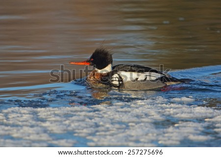 Male Red-breasted Merganser (Mergus serrator ) on a partially frozen river - Ontario, Canada - stock photo