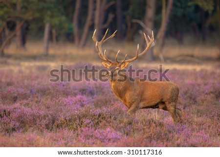 Male red deer (Cervus elaphus) with antlers during mating season on the Hoge Veluwe, Netherlands - stock photo