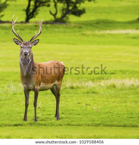 Male Red deer in natural environment stares at the camera, Isle of Arran, Scotland.