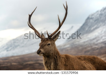 Male red deer posing for camera. Scottish highlands scenery on background. - stock photo