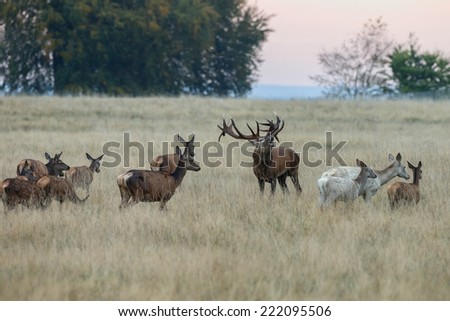 Male red deer roars at mating season - stock photo