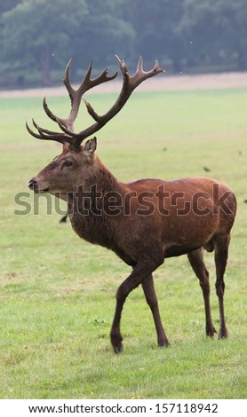 Male red deer stag in field