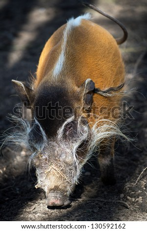 male red river hog in bands of shadow and light/Red River Hog - stock photo