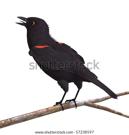 Male Red-winged Blackbird. 3D rendering with clipping path and shadow over white