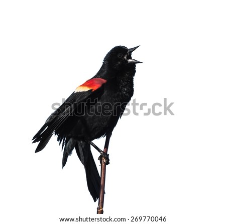 Male Red-winged Blackbird on White Background - stock photo