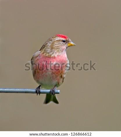 Male Redpoll - stock photo
