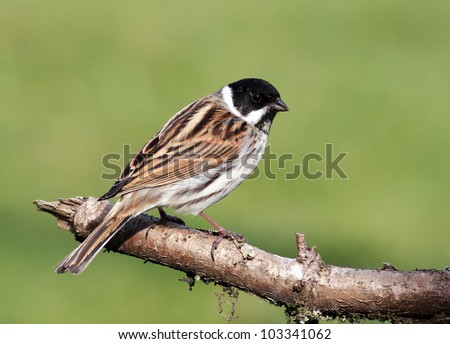 Male Reed Bunting perched on a tree branch