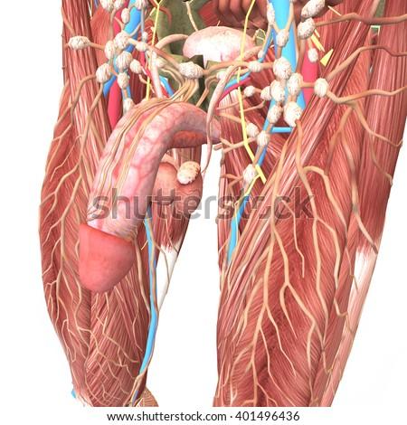 Male reproductive organ 3d