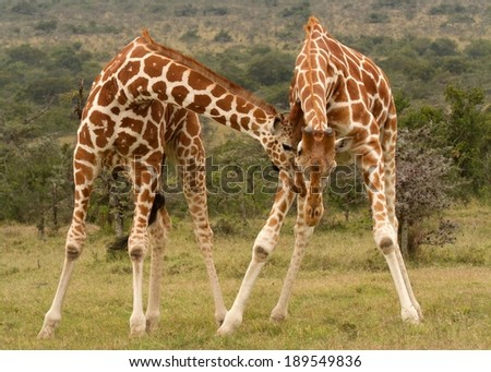 male reticulated giraffes fighting, Kenya - stock photo