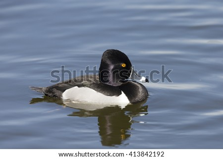 Male Ring-necked Duc swimming on Lake in California