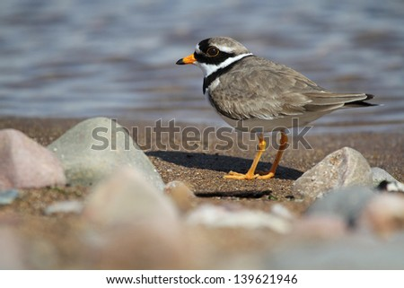 Male Ringed Plover (Charadrius hiaticula) on a stony beach. Take at Elliot, Angus, Scotland, UK. - stock photo