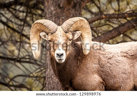 Male Rocky Mountain Bighorn Sheep Ram standing in snow flurries in front of tree face forward - stock photo