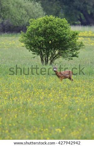 Male roe deer on a meadow - stock photo