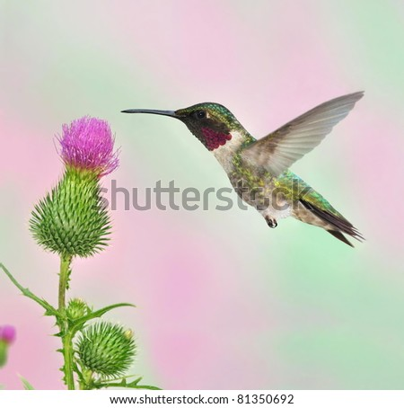 Male Ruby-throated Hummingbird (Archilochus colubris) at a field thistle.
