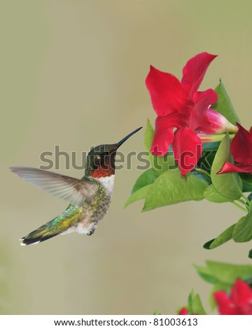 Male Ruby-throated Hummingbird (Archilochus colubris) at mandevilla flowers. - stock photo