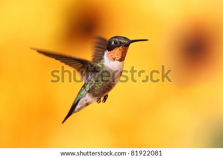 Male Ruby-throated Hummingbird (archilochus colubris) in flight with a colorful background of out of focus Sunflowers - stock photo