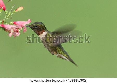Male Ruby-throated Hummingbird (archilochus colubris) in flight with a flower and a green background - stock photo
