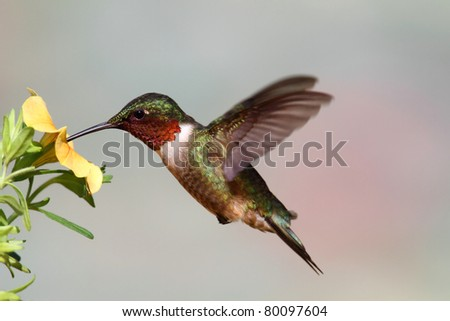 Male Ruby-throated Hummingbird (archilochus colubris) in flight with a yellow flower and a colorful background - stock photo