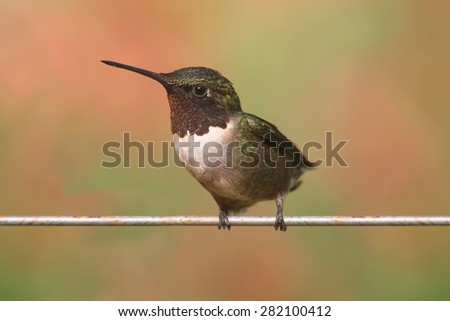 Male Ruby-throated Hummingbird (archilochus colubris) on a perch with a colorful background - stock photo