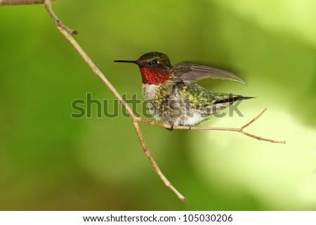 Male Ruby-throated Hummingbird (Archilochus colubris) Taking Flight - Ontario, Canada - stock photo