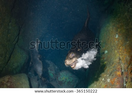 Male sea lion seal coming to you underwater to attack with open mouth