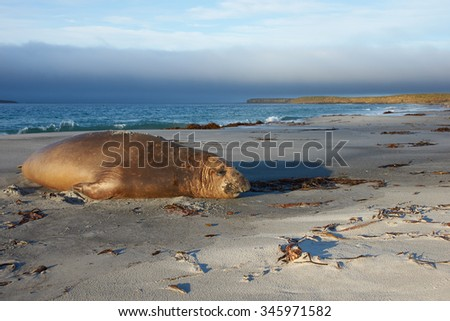 Male Southern Elephant Seal (Mirounga leonina) during the breeding season on Sealion Island in the Falkland Islands.