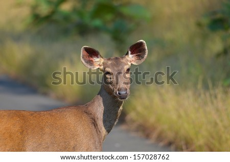 Male Spotted Deer deer looking at camera - stock photo