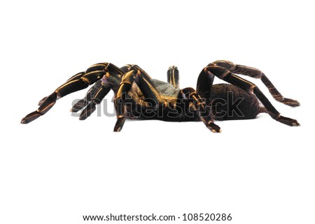 Male Thai Zebra Tarantula (Haplopelma albostriatum). This tarantula found throughout Thailand lives in burrows, is fast and quick to bite.