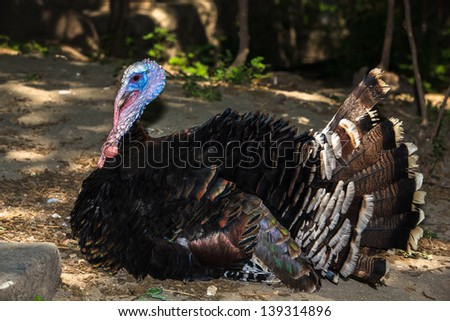 Male turkey in natural surroundings. Thanksgiving Turkey Tom laying and displaying his feathers. - stock photo