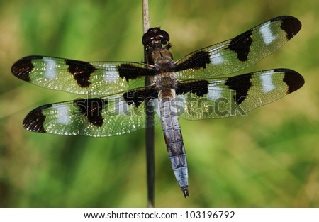 male Twelve-spotted skimmer dragonfly - stock photo