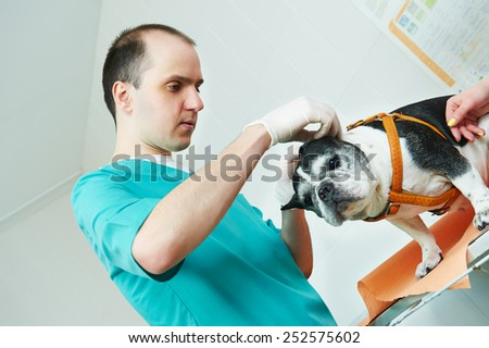 male veterinarian surgeon worker treating examining west terrier dog in veterinary surgery clinic - stock photo