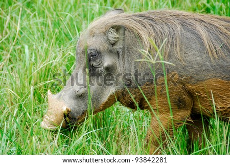 Male warthog in Murchison Falls National Park (Uganda) - stock photo