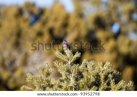 Male Western Bluebird in a New Mexico pinyon pine
