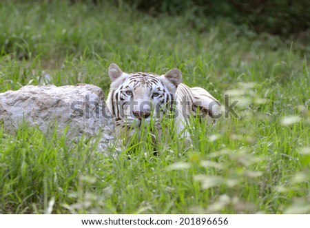 male white bengal tiger in captive environment - stock photo