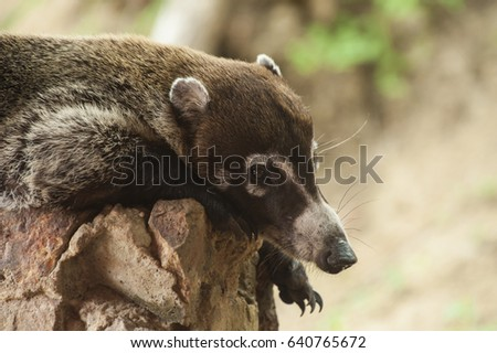 Male white nosed coatimundi resting on a rock wall