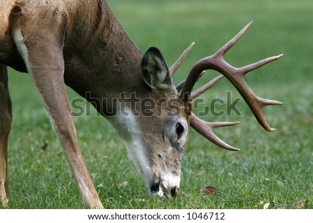 Male White Tail Deer - stock photo
