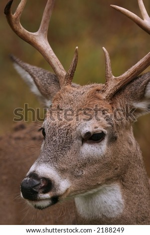 male white tail deer