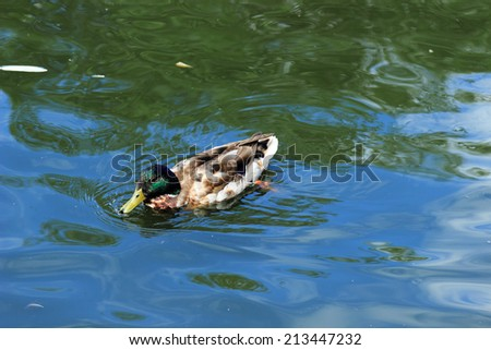 Male Wood Duck (aix sponsa) swimming in blue water - stock photo