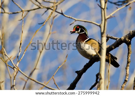 Male Wood Duck Calling While Perched in a Tree - stock photo