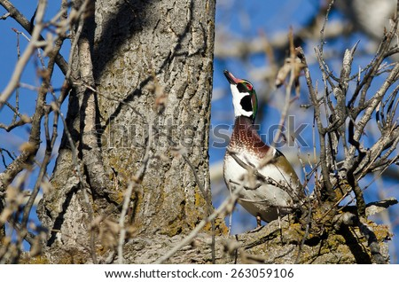 Male Wood Duck Looking to the Sky While Perched in a Tree - stock photo