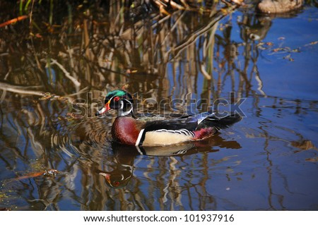 Male Wood Duck or Carolina Duck (Aix sponsa) is a species of duck found in North America. It is one of the most colorful of North American waterfowl. - stock photo