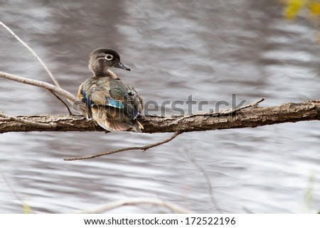 Male wood duck perched in a tree - stock photo