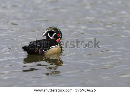 Male Wood Duck swimming on lake